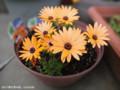 [花]オステオスペルマム
