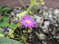 [花]ミヤコワスレ