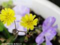 [花]ジバシリ