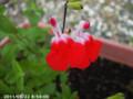 [花]サルビア