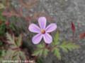 [花]フウロソウ