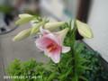 [花]ユリ