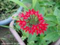 [花]ペンタス
