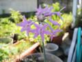[花]ツルバギア