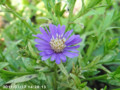 [花]コギク