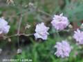 [花]カスミソウ