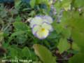 [花]ビオラ