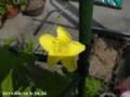 [花]ゴーヤ