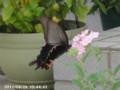 [虫]オナガアゲハ