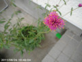 [花]センニチコウファイアーワークス