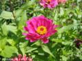 [花]ジニア