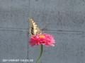 [虫]キアゲハ