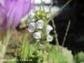 [花]オオバ