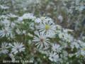 [花]クジャクソウ