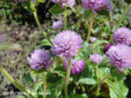 [花]センニチコウ