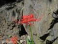 [花]ヒガンバナ
