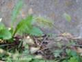 [花]ウサギノシッポ