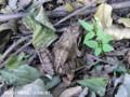 [花]カエル
