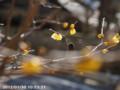 [花]ロウバイ