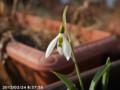 [花]スノードロップ