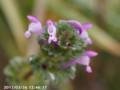 [花]ホトケノザ