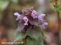 [花]ヒメオドリコソウ
