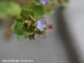 [花]タチイヌノフグリ