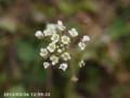[花]ペンペングサ