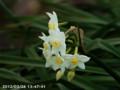 [花]スイセン