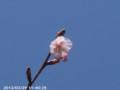 [花]ヒタチベニカンザクラ