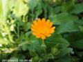 [花]カレンジュラ