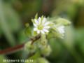 [花]ハコベ