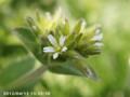 [花]オランダミミナグサ