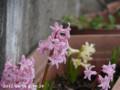 [花]ヒヤシンス