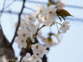 [桜]センリコウ