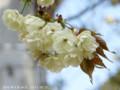 [桜]ウコン