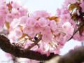 [桜]ヤエムラサキザクラ