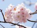 [桜]タオヤメ