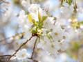 [桜]ジョウニオイ
