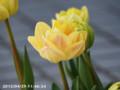 [花]ローズチューリップ