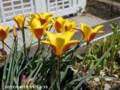 [花]タテジマチューリップ