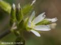 [花]オランダミミングサ
