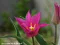 [花]百合咲きチューリップ