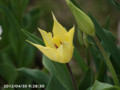 [花]ユリ咲きチューリップ