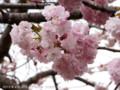 [桜]フクロクジュ