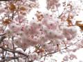 [桜]フゲンゾウ