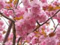 [桜]カンザン