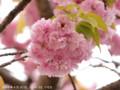 [桜]イモセ