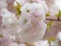 [桜]ショウゲツ