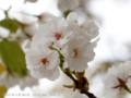 [桜]コトヒラ
